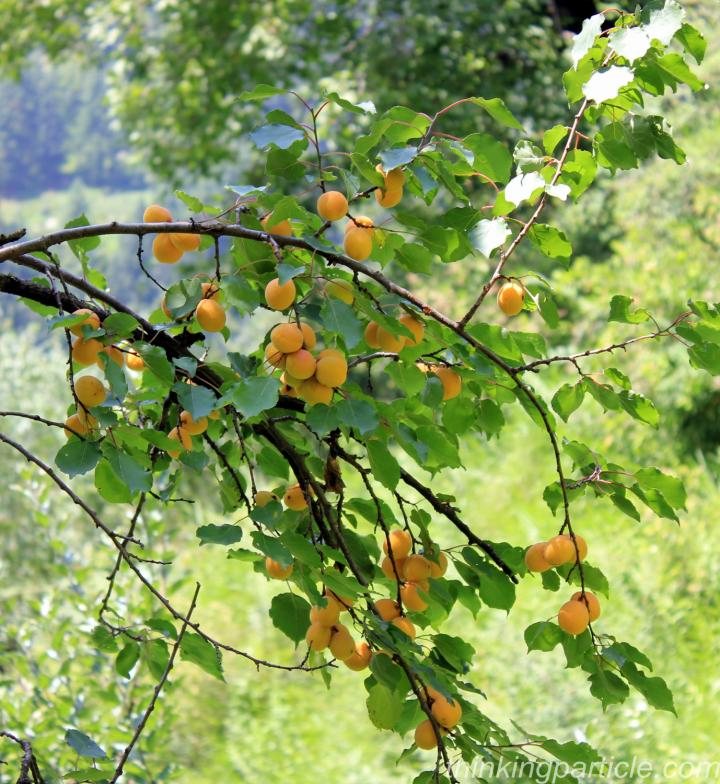 Delicious Apricot on the way