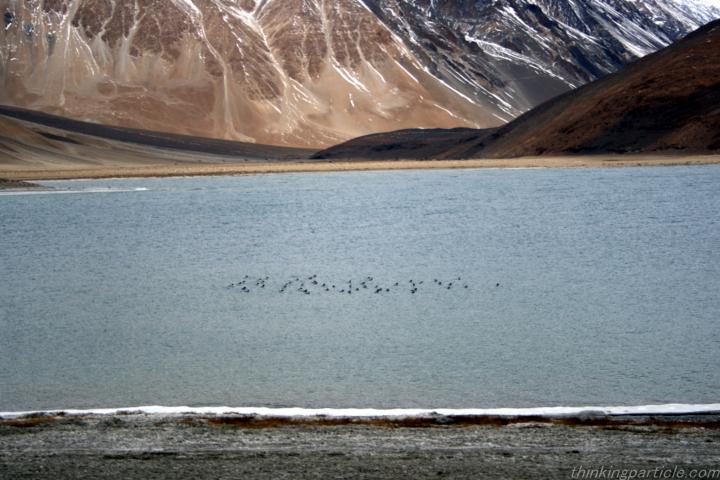 Migratory Birds at Pangong Lake in Winter Leh Ladakh